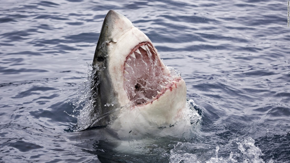 With an open mouth, a great white shark (Carcharodon carcharias) breaks the surface off Guadalupe Island, Mexico.