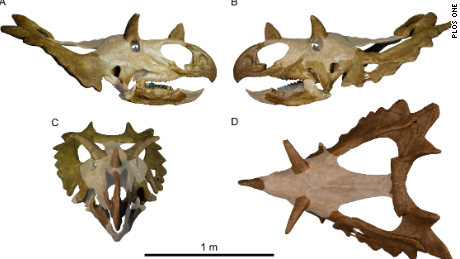 This is the skull reproduction of the new species of dinosaur called Spiclypeus shipporum.