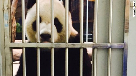 This photo of giant panda Tuan Tuan was posted on Taipei Zoo's Facebook page.