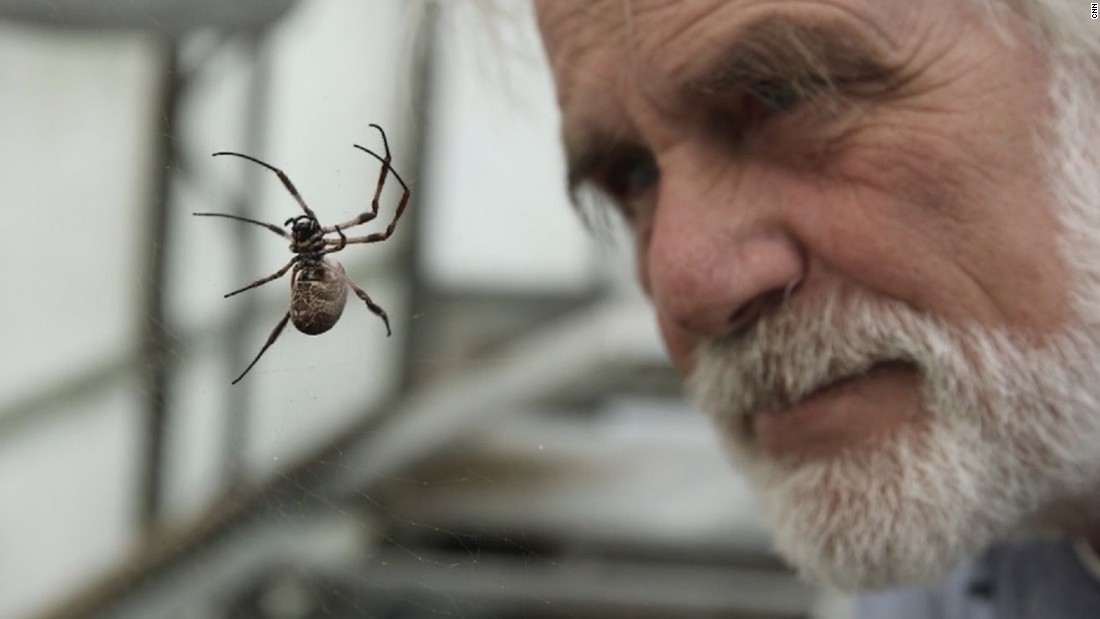 Professor Fritz Vollrath has worked with spiders for more than 40 years and has pioneered the use of their uniquely strong silk to address a variety of medical problems. Here, he looks at one of the Golden Orb Weaver spiders he keeps in his greenhouse at Oxford University.