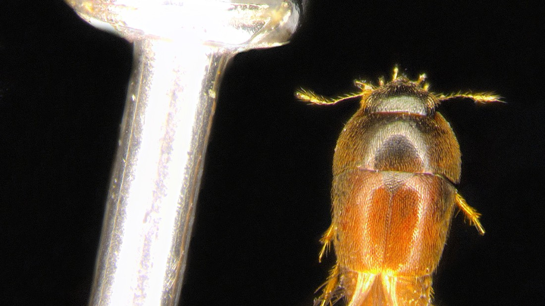 This tiny beetle is named after Paddington Bear. Scientists hope that just like in the kids' books about the lovable bear, people will look after this beetle.