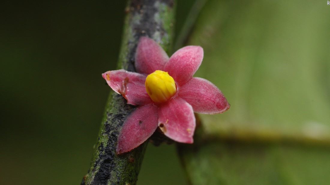 This new tree species was found just off the main road at Monts de Cristal National Park in Gabon.