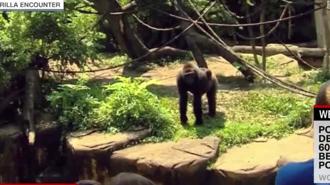 Cincinnati zoo kills gorilla to save child who slipped into enclosure