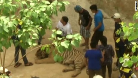 Relocating tigers proves to be daunting in Thailand