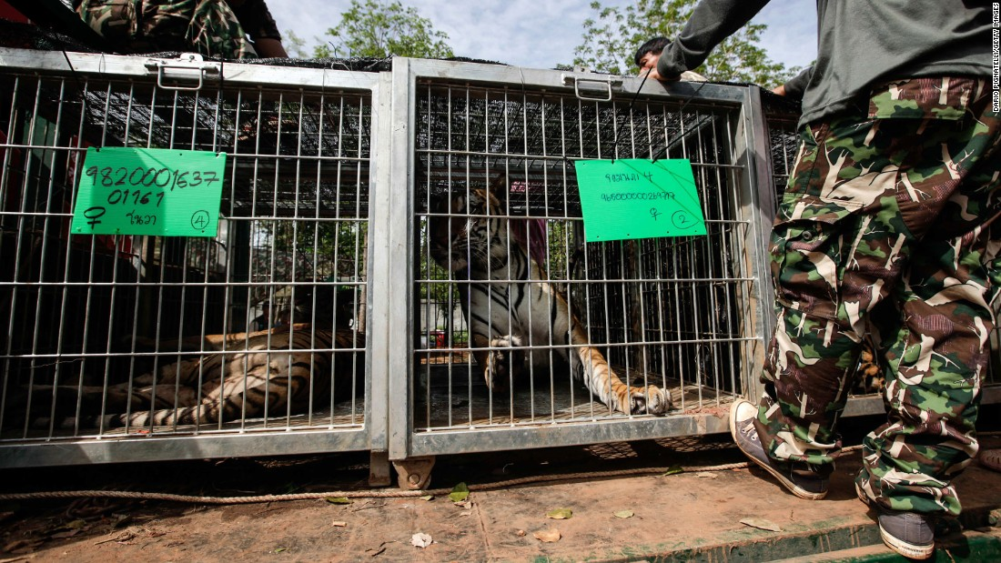 Tigers are loaded onto a truck at the temple on June 1.