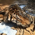03 Thailand tiger temple faces criminal complaint 0602
