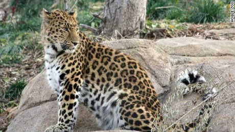 Zeya, a 4-year-old Amur leopard, was recaptured after escaping Tuesday at Utah's Hogle Zoo.