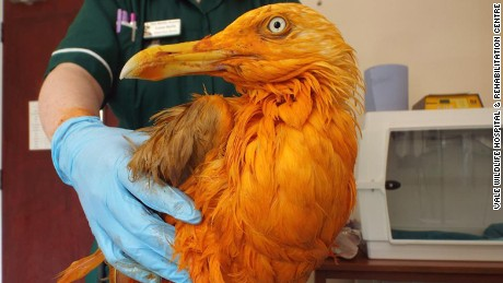This seagull turned bright orange after falling into a vat of chicken tikka masala