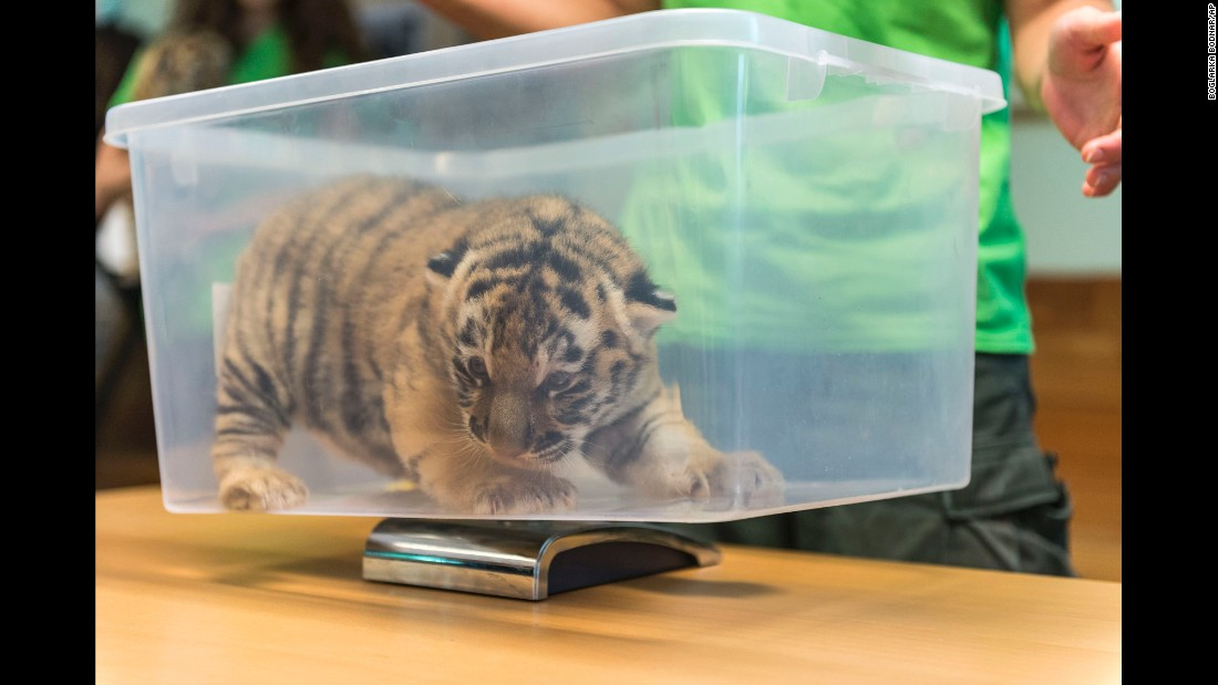 A Siberian tiger cub is weighed at the Veszprem Zoo in Veszprem, Hungary, on Wednesday, June 15. The cub was born at the zoo two weeks earlier.