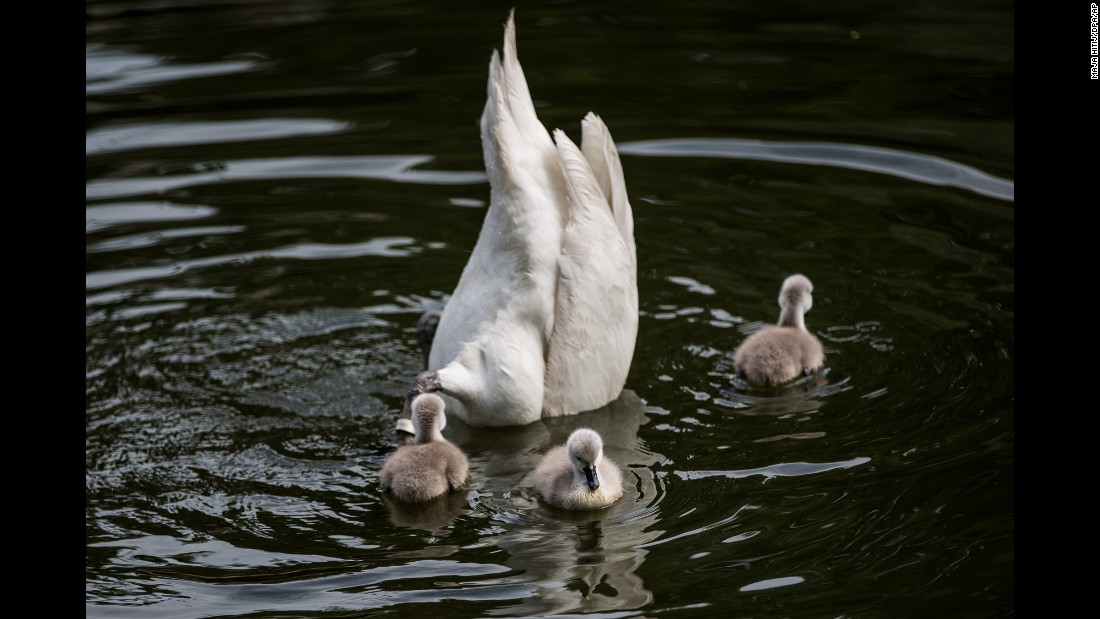 Three young swans swim next to their diving parent in Dusseldorf, Germany, on Thursday, June 16.