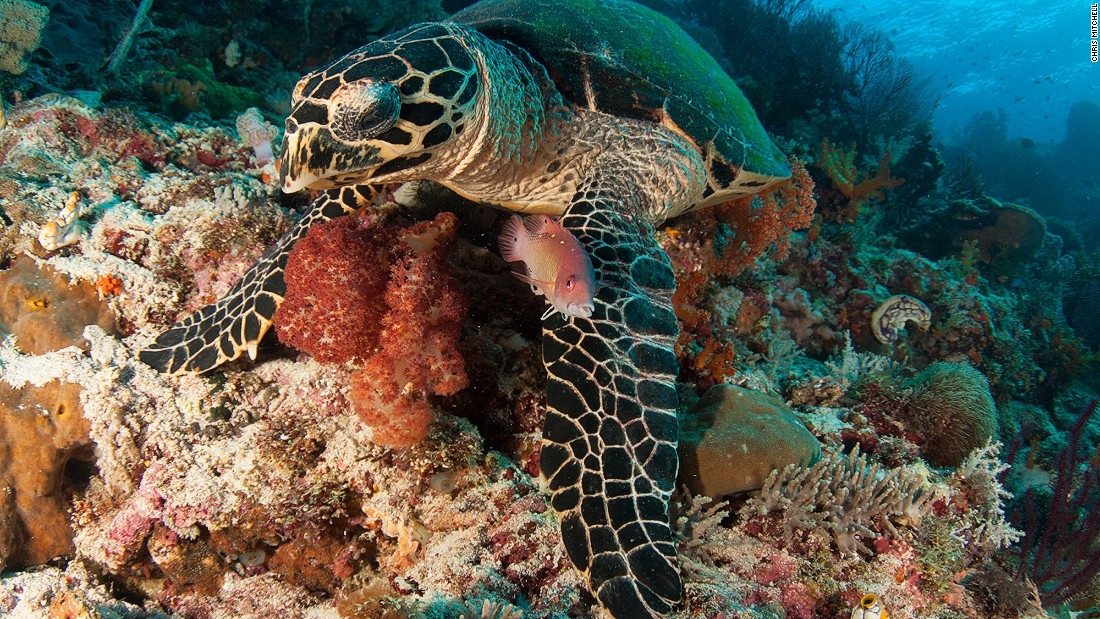 Frequently spotted on Raja's reefs, turtles are endlessly fascinating to watch, whether propelling their seemingly ungainly bodies gracefully through the water or languidly nosing through corals for their next meal. <br />