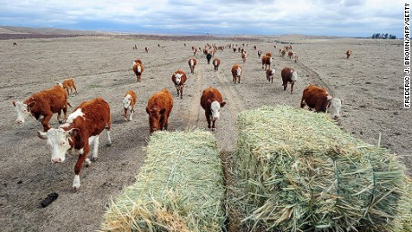 Here are some brown cows that, shockingly, produce regular milk.
