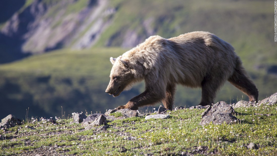 Bear attack in Alaska's Denali National Park