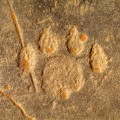 african rock art Algeria - Lion footprint