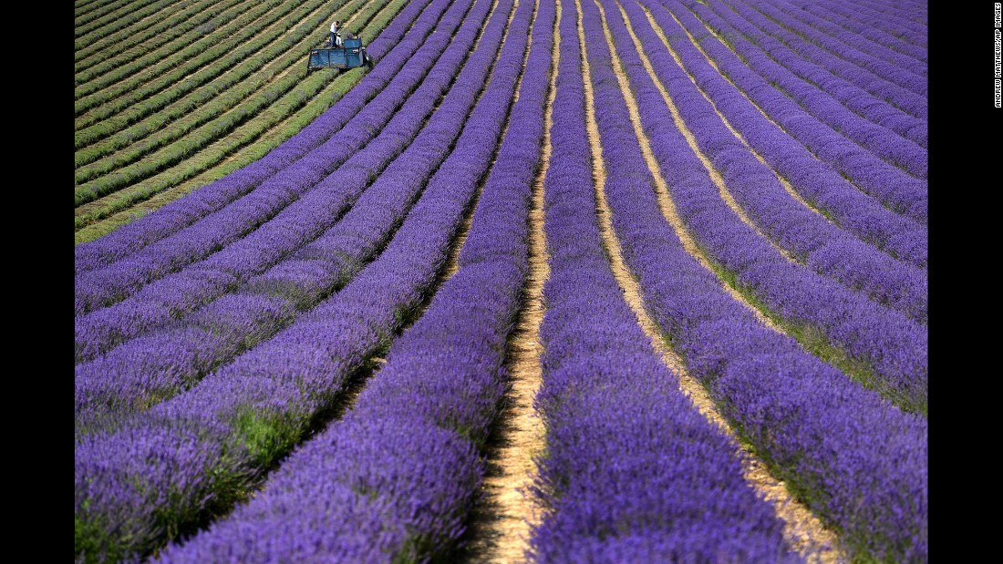 A tractor harvests lavender in West Sussex, England, on Wednesday, July 20.