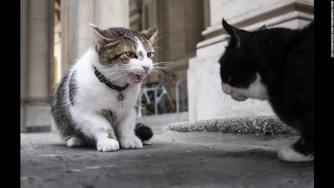 Gladstone will need to get to grips with his new neighbors. Here, Larry (left) squares off against Palmerston, the Foreign Office cat.