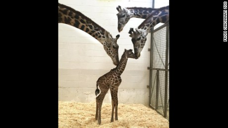 A new study shows giraffes are not one species, but rather four different ones, changing the game for the world's tallest mammal.