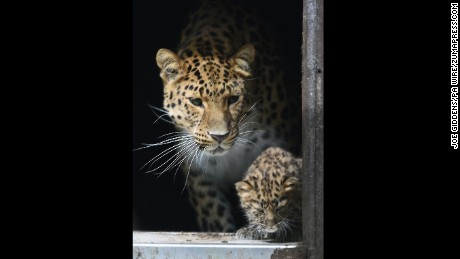Amur leopard Kristen watches as one of her cubs explores their enclosure.