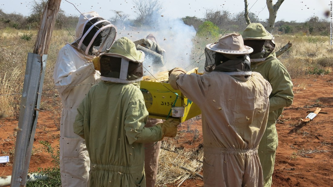 Exploring solutions, environmental researcher Lucy King has implemented her doctoral research, using bees as a deterrent to elephants who have in the past destroyed crops and agricultural equipment.