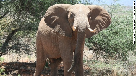 Saved by the bee: The unlikely solution to Africa's elephant problem