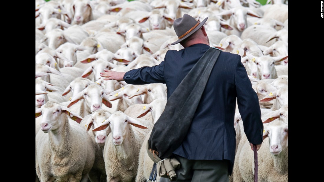 Christian Frebel leads a herd of sheep Saturday, August 6, during the Shepherds Championships of Thuringia in Hohenfelden, Germany.