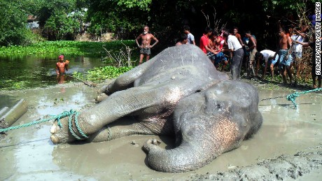 The elephant lies on the ground after being pulled from a pond by Bangladesh forest officials and villagers in the Jamalpur district
