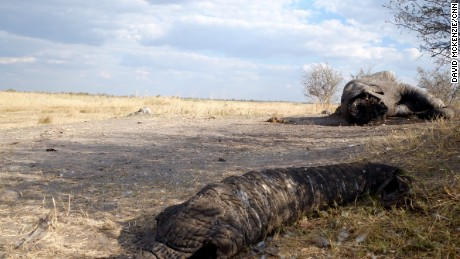A bull elephant killed by poachers on the border of Botswana and Namibia, it's face hacked off with an axe or machete to retrieve it's valuable ivory tusks.