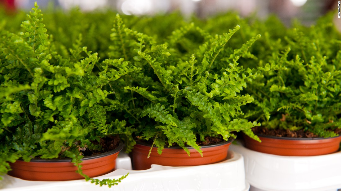 "If the air in your home is too dry, you may want to get some ferns. These plants are <a href=""http://journals.usamvcluj.ro/index.php/promediu/article/view/9953"" target=""_blank"">good at increasing air humidity</a>."