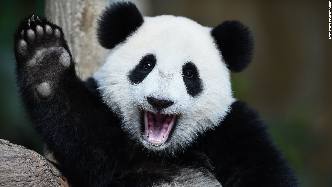 nuan nuan a 1yearold giant panda reacts during a joint