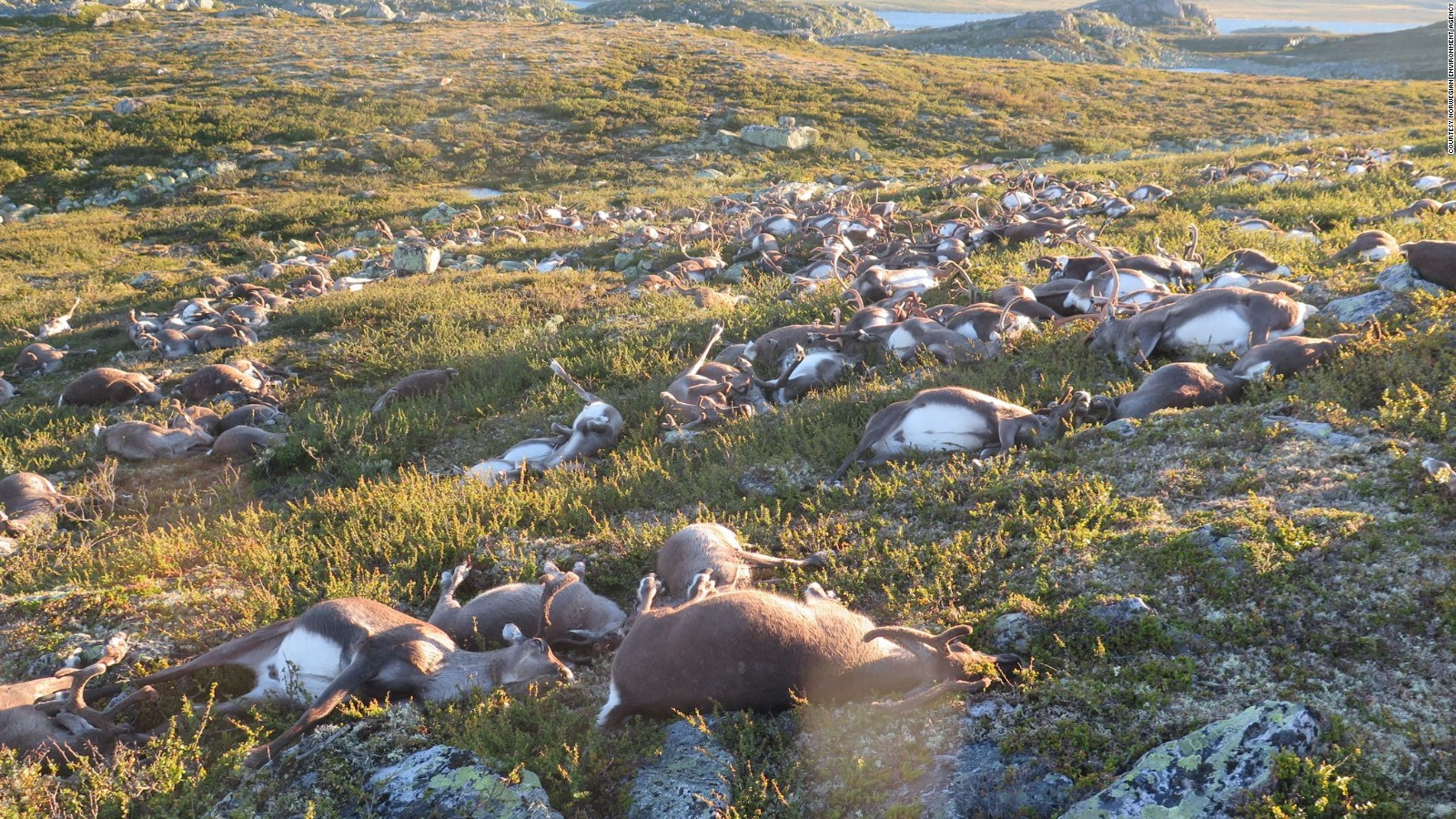norway more than 300 reindeer killed by lightning cnn