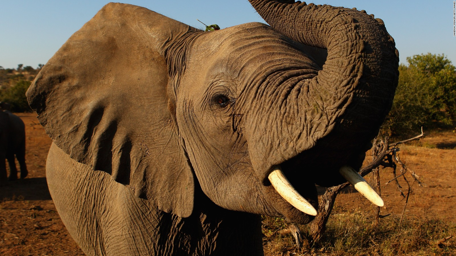 new elephant study shows catastrophic decline in africa cnn
