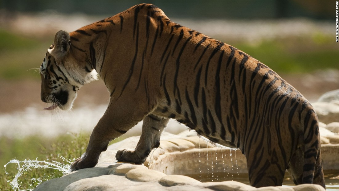 "As a theme park, the site includes a  ""Jurassic Park"" simulation as well as exotic live animals, including this tiger."