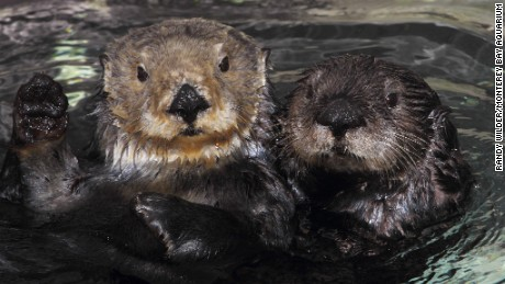 Two southern sea otters at the Monterey Bay Aquarium.