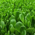 aerofarms romaine lettuce