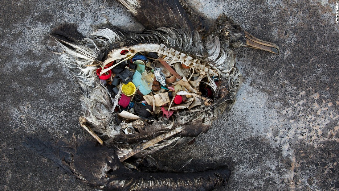Almost all of the albatross die with their stomachs full of plastic debris.