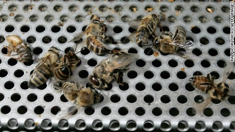 Dead honey bees lie at the entrance of a beehive on May 19, 2008 in Mahlberg near Freiburg, Germany. According to the German bee keepers association in the last few days honey bees died massively due to the use of pesticides. Seed corn that was sowed in the last weeks is mostly treated with clothianidin, a chemical used to protect roots from pest.