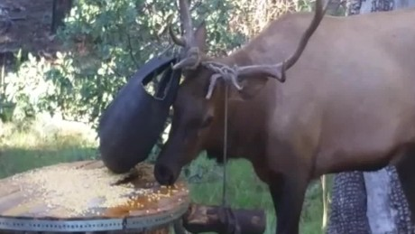 veterinarian helps elk in distress pkg kpho ktvk_00000024
