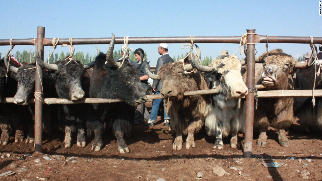 Cattle are chained to a fence, ready to be sold in the Kashgar livestock market.