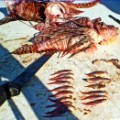lionfish dissection
