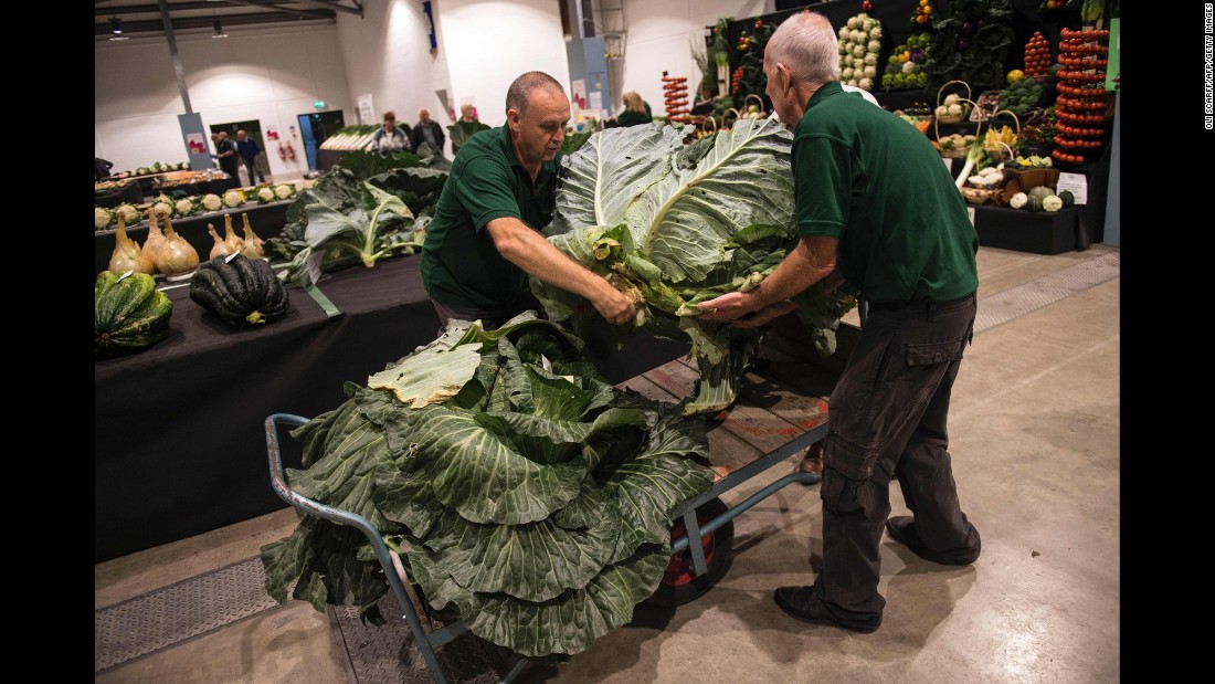 Judges move cabbages to be weighed in the Giant Vegetable Competition, which took place on the first day of the Harrogate Autumn Flower Show in Harrogate, England, on Friday, September 16.