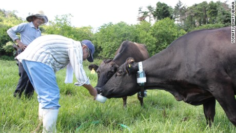 Elderly farmers feeds their radiation-affected cows in the exclusion zone.