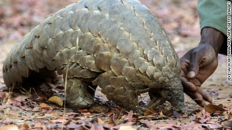 Demand for pangolin meat and body parts is fueling a bloodbath and driving the secretive scaly ant-eating mammals toward extinction.