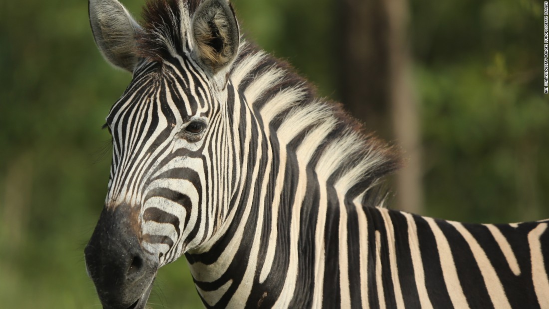 South Africa is arguing for the introduction of hunting quotas alongside a program to farm zebras that it claims would increase their numbers.