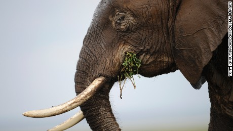 "Photo made on December 30, 2012 shows an elephant at the Amboseli game reserve, approximately 250 kilometres south of Kenyan capital Nairobi. Drawing to its close today, this year 2012, according to the International Fund for Animal Welfare, IFAW, stands out as the ''annus horriblis'' (Latin for 'year of horrors') for the World's largest land mammal with statistics standing at 34 tonnes of poached ivory having been seized, marking the biggest ever total of confiscated ivory in a single year, outstripping by almost 40 per cent last year's record of 24.3 tonnes. Earlier this year, in just six weeks, between January and March 2012, at least 50 per cent of the elephants in Cameroon's Bouba Ndjida National Park were slaughtered for their ivory by horseback bandits. Most illegal ivory is destined for Asia, in particular China, where it has soared in value as an investment vehicle and coveted as ""white gold."" AFP PHOTO/Tony KARUMBA        (Photo credit should read TONY KARUMBA/AFP/Getty Images)"