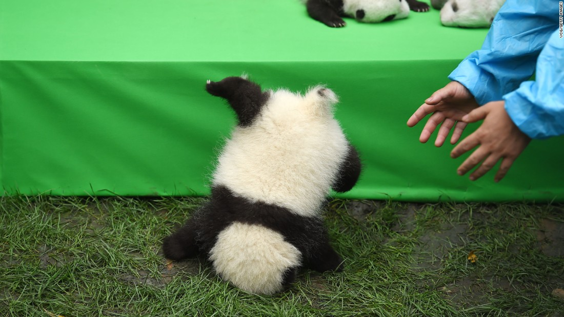 Twenty-three panda cubs were seen by the public for the first time in Chengdu, China, on Thursday, September 29. The cubs were born at the Chengdu Research Base earlier this year.