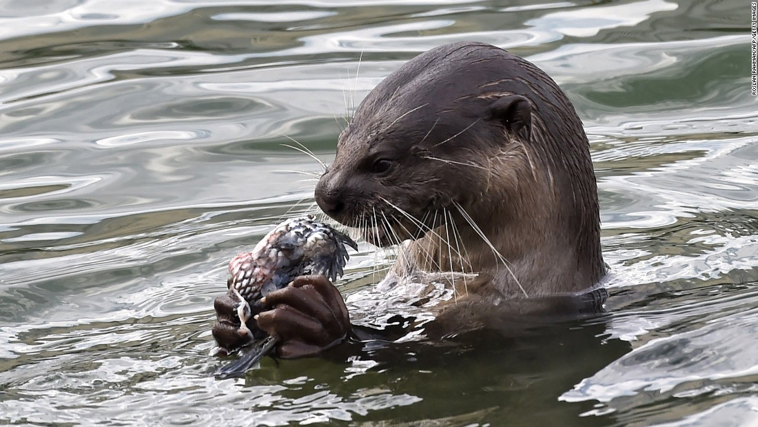 A wild otter feeds on fish at a reservoir in Singapore on Monday, October 3.