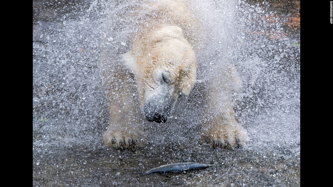 A polar bear named Vilma splashes in water at a zoo in Rostock, Germany on Wednesday, October 12.