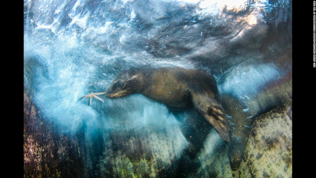 Category: Impressions<br />A young sea lion swimming in the Gulf of California grabs a starfish, which it then offered to photographer Luis Javier Sandoval. Sandoval says, 'I love the way sea lions interact with divers and how smart they are.'