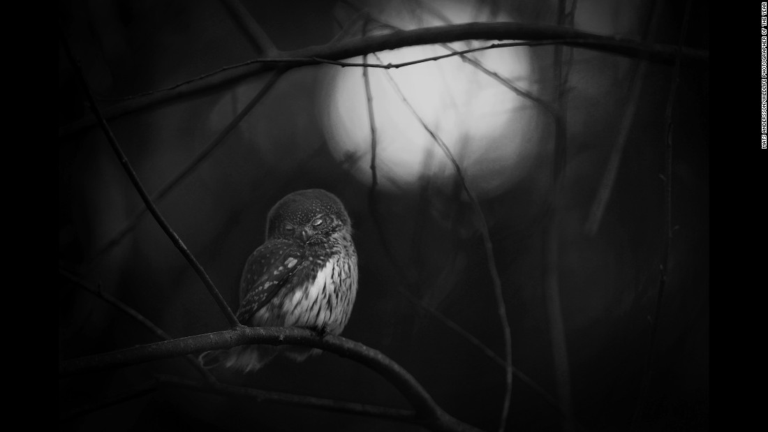 "Category: Black and White<br />A solitary Eurasian pygmy owl was photographed by Mats Andersson after he discovered the owl's mate lying dead on the forest floor. ""The owl's resting posture reflected my sadness for its lost companion,"" says Andersson. These birds of prey are known to form pair bonds in autumn that last through spring, and sometimes for more than one breeding season."