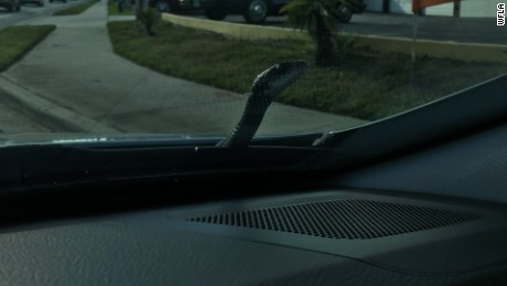 This black snake hitched a ride on a sedan in Florida.